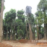 香樟树 20cm【湖南长沙】供应 园林苗木 道行 移植香樟树 混批