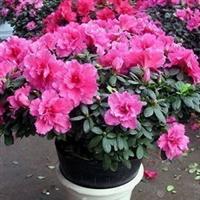 盆栽比利时杜鹃花苗 *花中西施*正是花期 花期特长的盆景杜鹃花