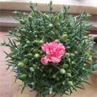 花卉盆栽 本店特价商品 10元一盆 盆栽康乃馨