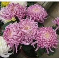 促销价 园艺花卉大菊花 紫罗兰菊花盆栽菊花植物菊花苗