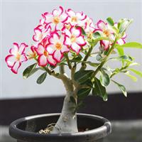 盆栽花卉 沙漠玫瑰 当年可开花 吸收室内的有害气体