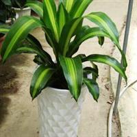 金边巴西铁 香龙血树 绿植盆栽 室内花卉 观叶植物