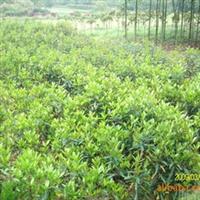 供应常绿园林绿化灌木-珊瑚树