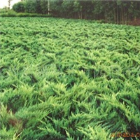 供应园林绿化用苗-铺地柏