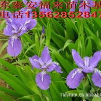 供应山东泰安鸢尾花,鸢尾花物语花语