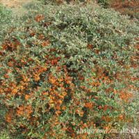 供应批发优质园林植被—-火棘 易成活