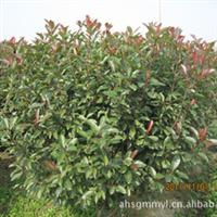 供应销售优质红叶石楠 苗木培植基地