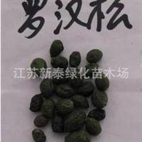 批发供应优质罗汉松种子  台湾罗汉松种子  正宗