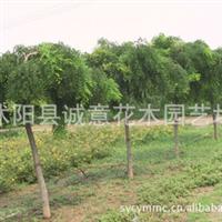 基地供应绿化苗木 龙爪槐、常青藤、地锦、法桐、紫叶李等花木