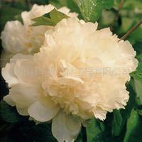 冲三钻好卖家 国色天香之牡丹花(金贵飘香)牡丹种子牡丹苗