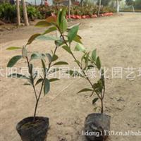 大量供应红叶石楠 石楠种子绿化苗木