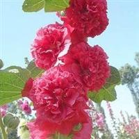 批发供应蜀葵种子  各色及分色