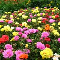 太阳花种子  松叶牡丹种子 龙须牡丹种子 半枝莲种子 300元1斤