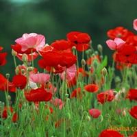 供应虞美人种子  批发虞美人各种草花种子 花卉种子