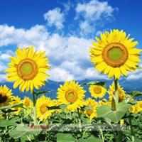 批发供应多种向日葵种子 绿化向日葵种子
