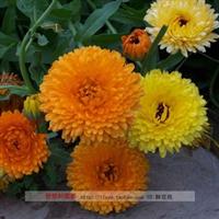 批发 供应 金盏花种子 金盏菊种子 80元1斤