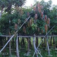 [供应胸径4到35公分]      芒果树   有袋苗,地苗   价格电议