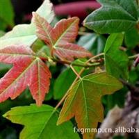 三角枫常年大量低价供应-安徽卫东苗圃较低价直销