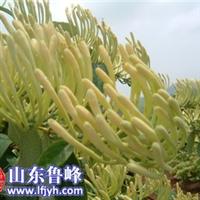 供应鲁峰王金银花,座花率高,产量大!金银花种苗出售