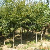 枫香苗木常年大量低价供应-安徽卫东苗圃较低价直销