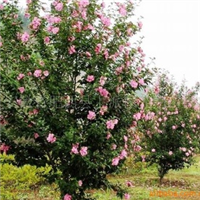 木槿苗木常年大量低价供应-安徽卫东苗圃较低价直销