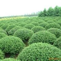 海桐球苗木常年大量低价供应-安徽卫东苗圃较低价直销