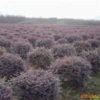 红花继木球常年大量低价供应-安徽卫东苗圃最低价直销