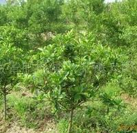 栀子花球常年大量低价供应-安徽卫东苗圃较低价直销