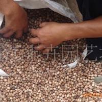加拿利海枣种子 中东海枣种子 2012年新种