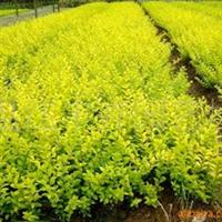 供应绿化苗木金叶女贞0.1m-0.6m