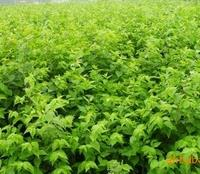 苏北花农产地直销:金银木苗子 常年供应 价格低廉