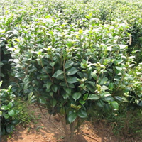 低价供应优质灌木 60公分茶花球
