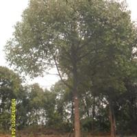 供应湖南绿化苗木行道树米径12公分原生苗圃截杆香樟