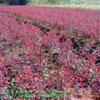 供应红叶小檗,紫叶小檗,金叶小檗,青叶小檗(图)