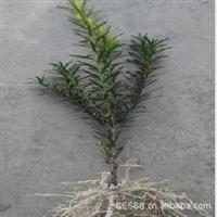 曼地亚红豆杉- 正宗品质  量大优惠