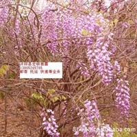 供应紫藤沭阳县宏扬苗圃 零售和批发 量大优惠