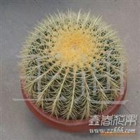 大型金琥仙人球批发 防辐射仙人球盆栽植物批发