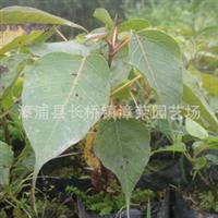 供应较耐寒佛教圣树、台湾花莲的县树:菩提树别名觉悟树、智慧树