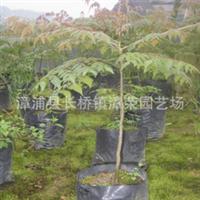 供耐旱性强速生世界级树种-台湾栾树(金苦楝、五色栾华)16#袋苗