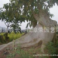 供应:【本场实拍】 无花果(孺子牛)大型盆景----贵在唯一!
