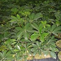 福建漳荣园艺长年自产直销优质鹅掌柴(鸭脚木),及各种绿化苗木