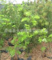 【直销】常绿乔木:3年生江南油杉(杜松)种苗--珍贵绿化苗木