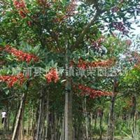 自产直销:胸径6cm--20cm鸡冠刺桐优质绿化苗木