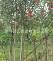 大量供应:福建漳州绿化苗木-鸡冠刺桐价格