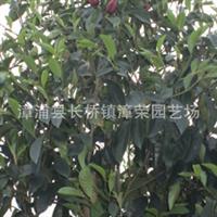 【极品】:墨紫(红)花含笑--福建漳州漳荣园艺特荐优质绿化苗木