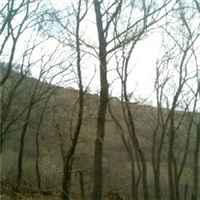 出售五角枫  20M 绿化苗木