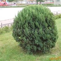 供应丹东桧柏 园林绿化苗 绿化工程苗木 绿化乔木 灌木