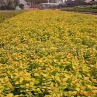 供应金山绣线菊 园林绿化苗 绿化工程苗木 绿化乔木 灌木