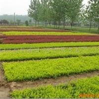 供应金焰绣线菊 园林绿化苗 绿化工程苗木 绿化乔木 灌木