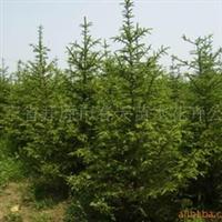 供应红皮云杉 园林绿化苗木绿化工程苗木绿化乔木灌木